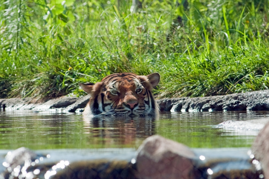 This is a Tiger walking through a stream