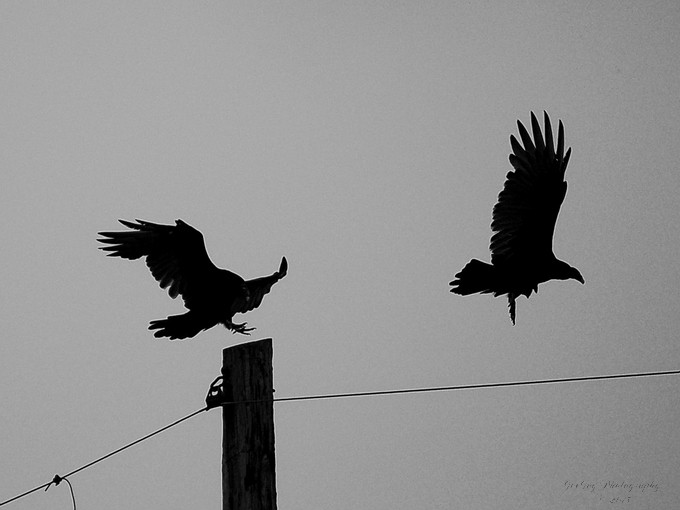 Taken with Nikon D50 using AF-S Nikkor 55-200mm 1:4-5.6 G lens.  Resized and converted to black and white using onOne Perfect Photo Suite 8.5