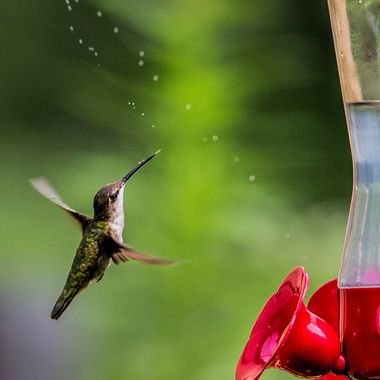 hummingbird enjoying the sweetness.