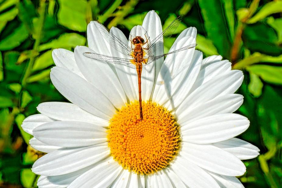 Meadowhawk dragonfly 01