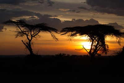 Umbrella Acacias in the Serengeti