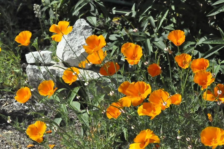 poppies 001