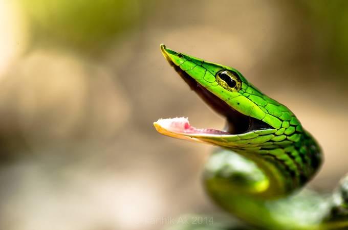 Green Vine snake by karthikak - Reptiles Photo Contest