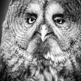 A black and white photograph of a Great Grey Owl.