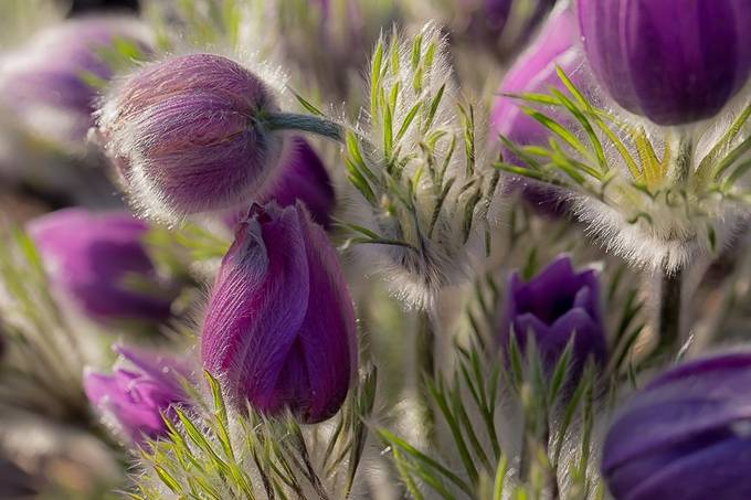 Pasque Flower by DutchTouch - Shades Of Purple Project