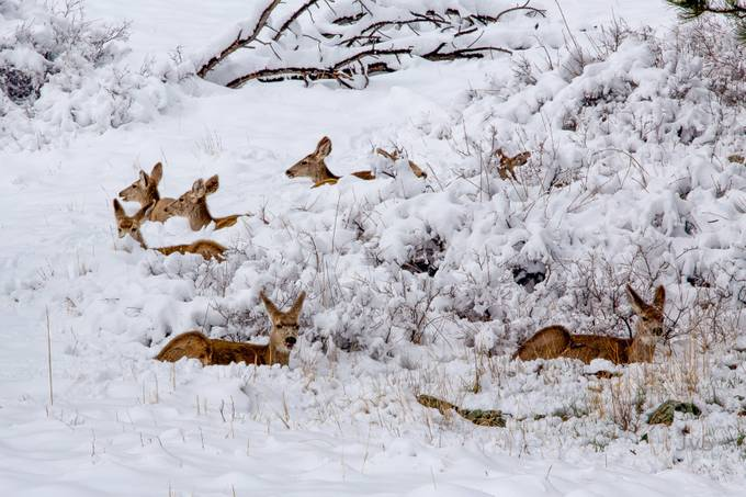 Mule Deer Lounging by DutchTouch - Winter Wildlife Photo Contest