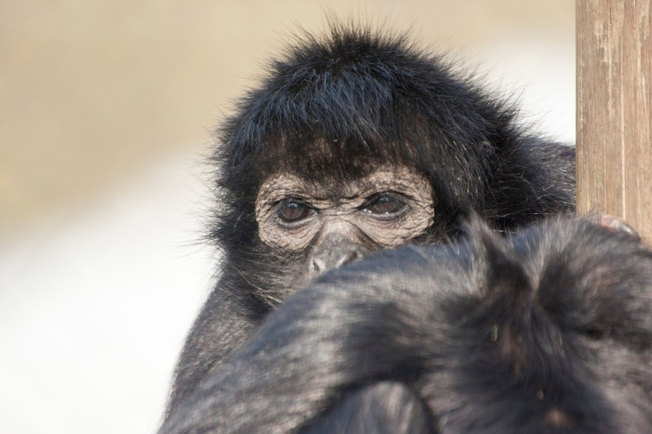 This Spider monkey sat warmly wrapped up looking over its arm to a point no-one could see, I mere...