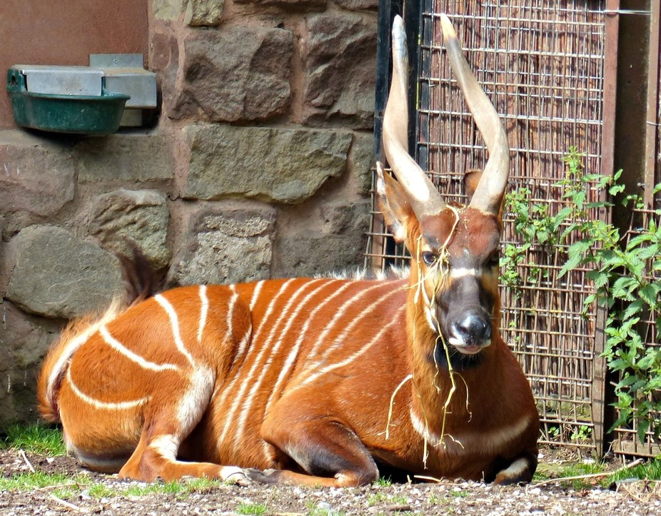 taken at Chester Zoo - bongo with grass decoration!