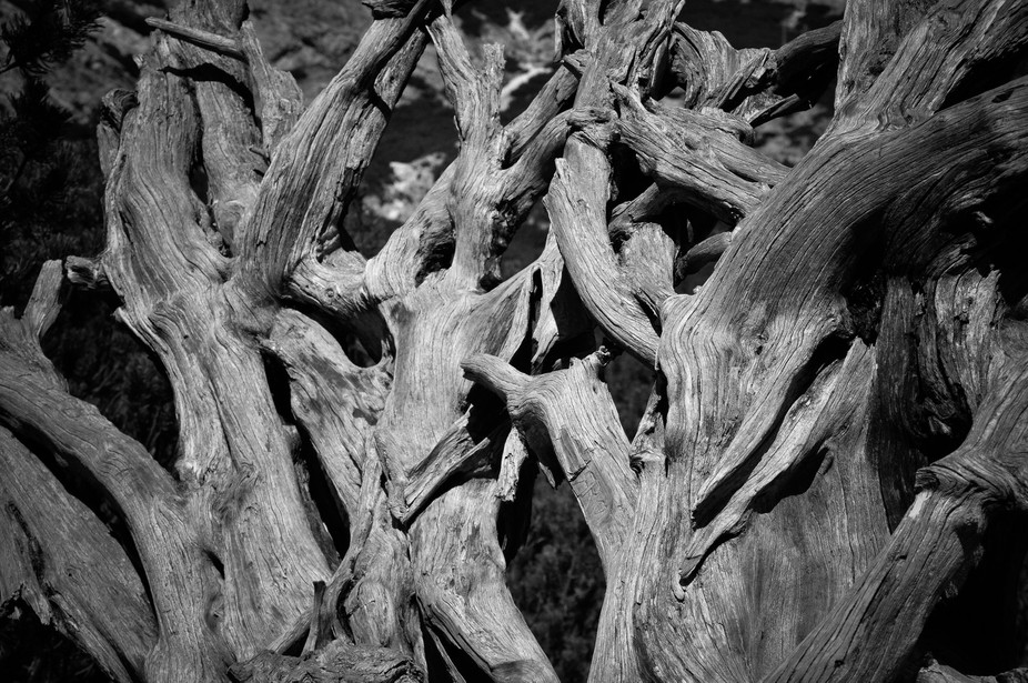A root of a mountain pine. Uprooted years ago and exposed to the changing weather, the sun and th...