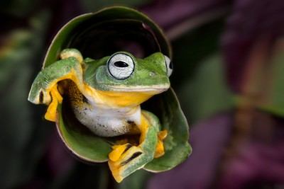 Flying Tree Frog