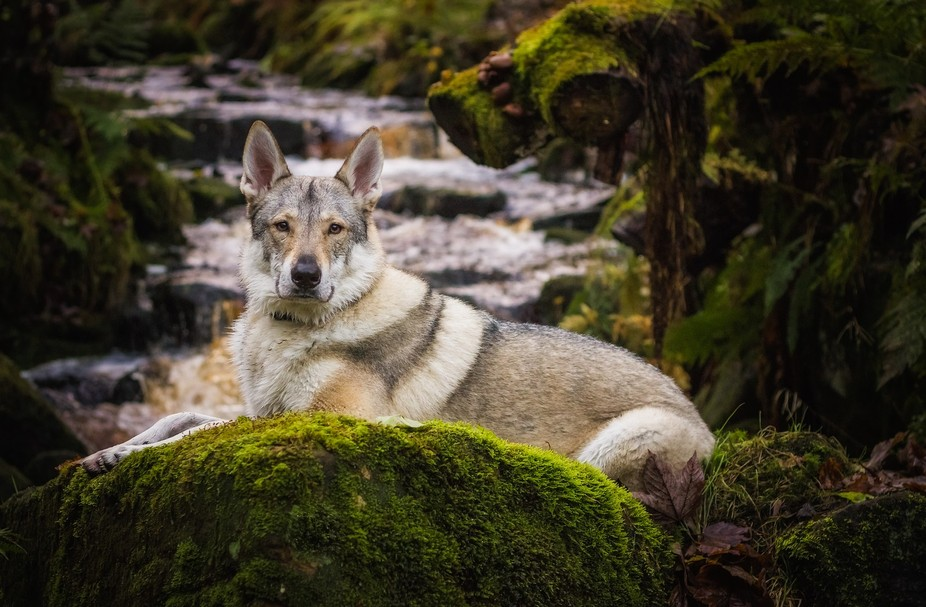 My dog Fen posing for a portrait by a small stream.