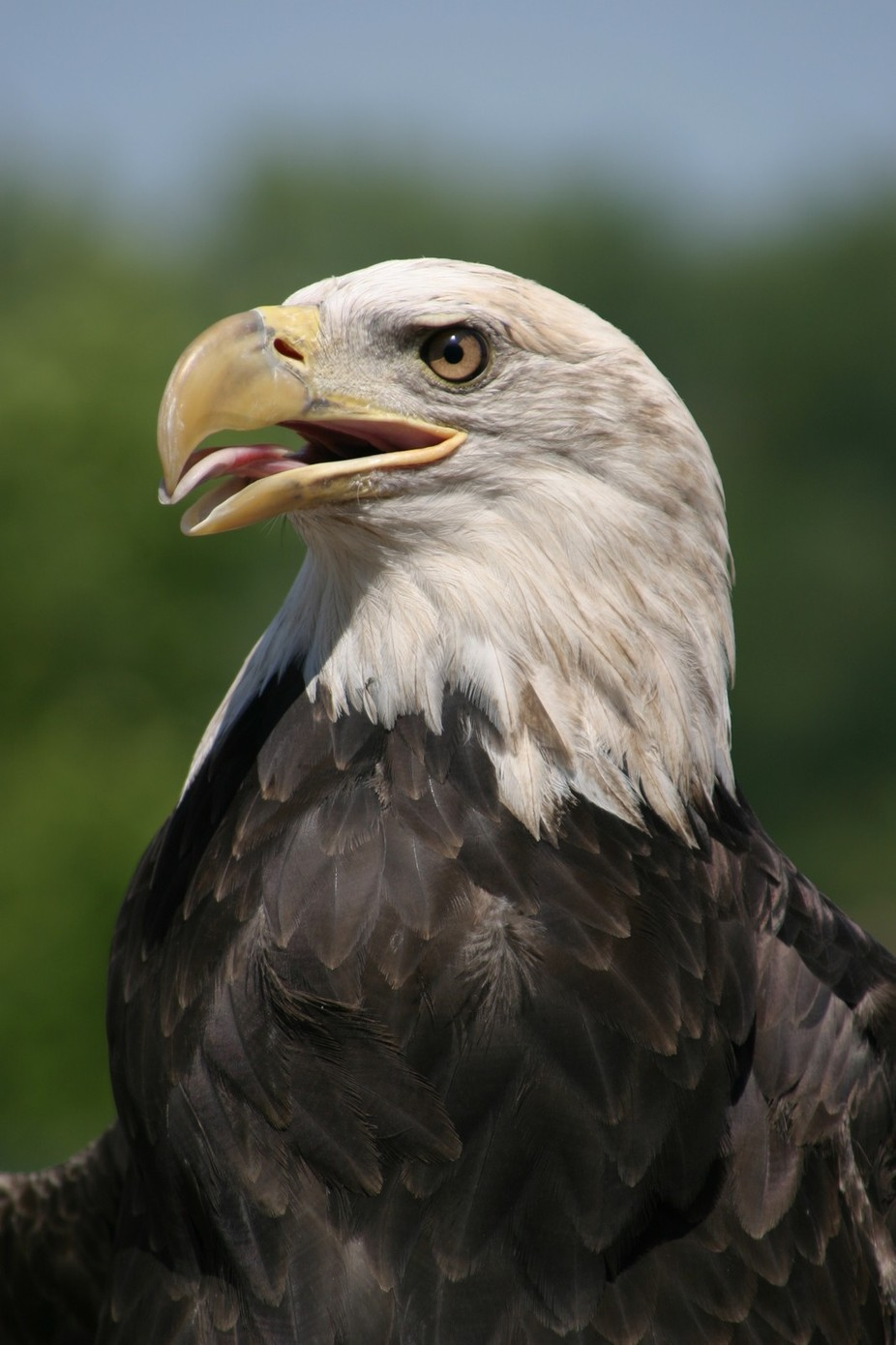 Bald Eagle by DebbieKMiller81 - Majestic Eagles Photo Contest