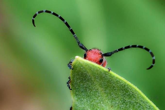 Milkweed Beetle by DutchTouch - Macro Extravaganza Photo Contest