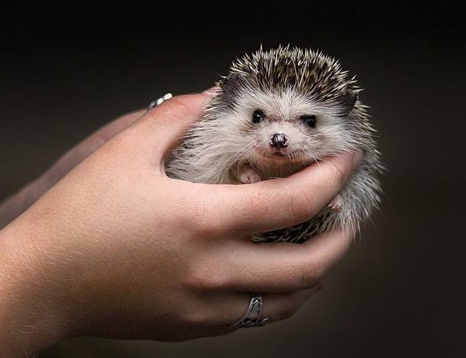 Lily the Hedgehog by gondmagdi - Only Pets Photo Contest