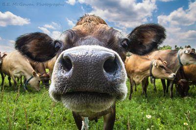 Head of the Herd