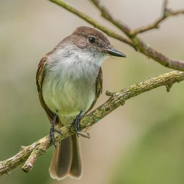 Puerto Rican Flycatcher