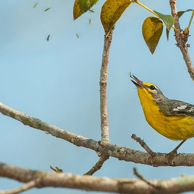 """Adelaide's Warbler """"Dendroica adelaidae"""" Endemic to Puerto Rico, Eating mosquitoes that are trapped on a spiders web, I really didn't see what she was doing till I opened the photo on my PC, they move around so fast it's difficult to focus on them..."""