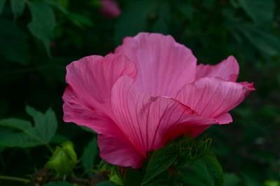 Backlit Hibiscus