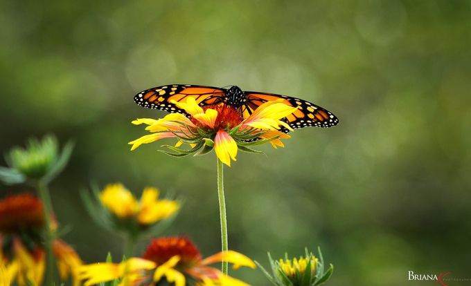 Outstretched by BrianaK - Beautiful Butterflies Photo Contest
