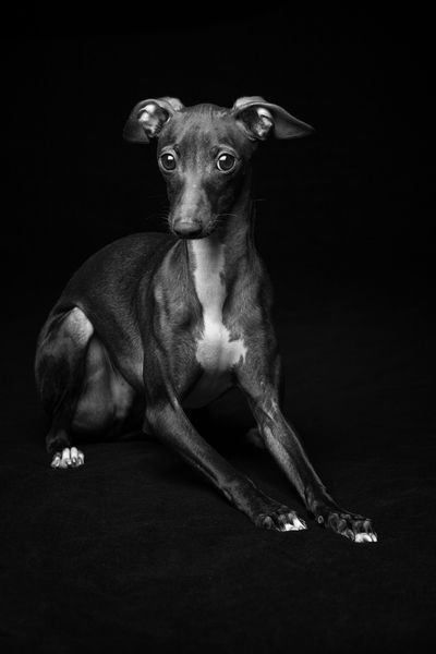 Vader the Italian Greyhound