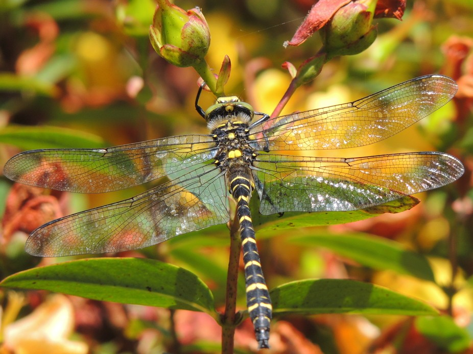 Golden-Ringed Dragonfly - Taken whilst at my Grandmas in Cornwall.