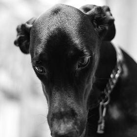 The silent and strong portrait of a Doberman...who says animal don't hold emotions?