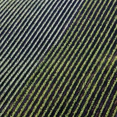 Vigneto - Vineyard