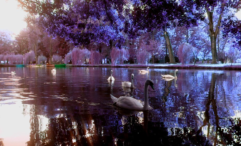swans, mature, water, trees, colors