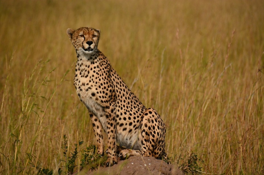 One of Kenya\'s magnificent cheetahs.