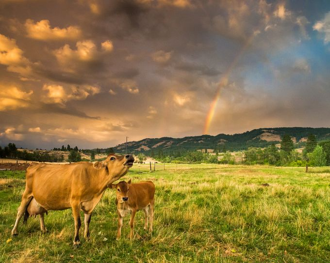 Rainbow Cow by GeoffColeImages - Farms And Barns Animals Photo Contest