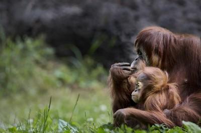 Mom and Baby Orangatan