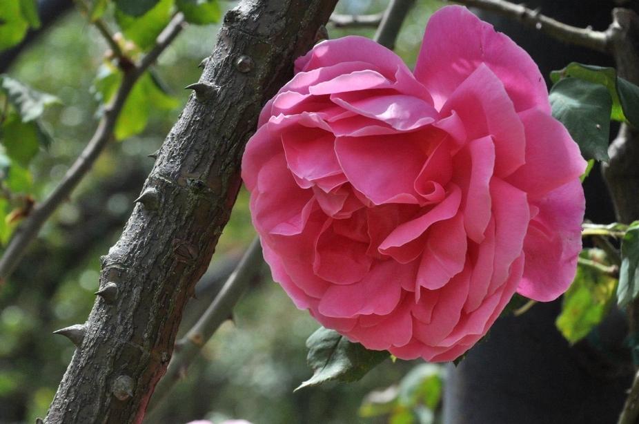 Pink rose, Huntington Library Rose Garden, San Marino, California
