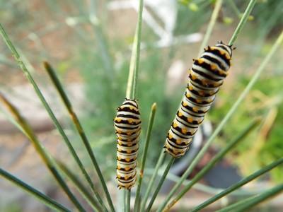 Caterpillar of the split tail butterfly un-edited