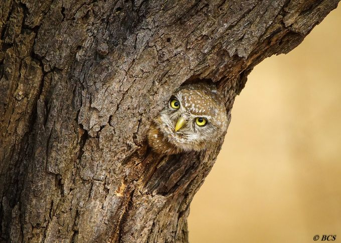 Shy Eyes by christosmit - Beautiful Owls Photo Contest