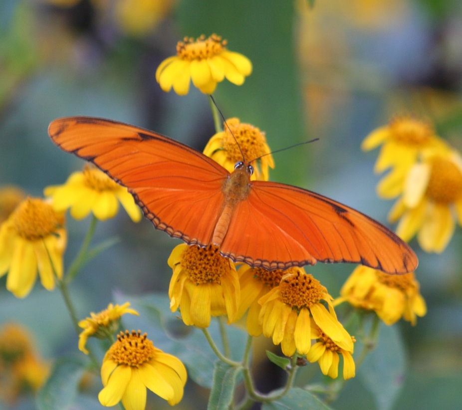 This butterfly is a little far from home. It usually stays in the more southern part of Texas and...