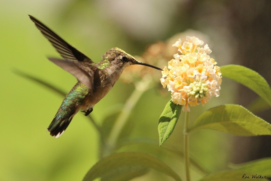 Female Ruby Throated Humming Bird on a yellow Butterfly Bush