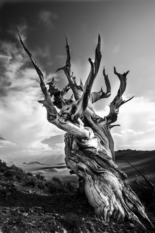 Ancient Bristlecone Pine by StevenWMartinPhotography