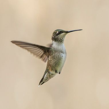 Humming bird in midair