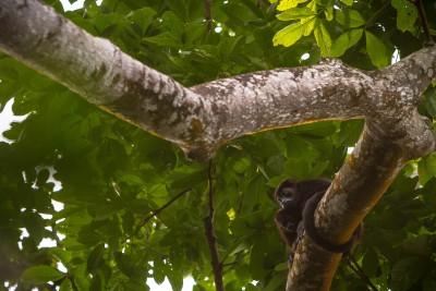 Mother & infant howler monkeys
