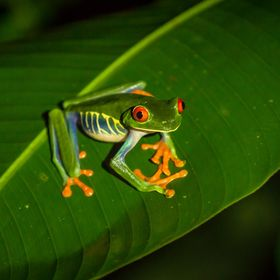 The iconic red-eyed tree frog (Agalychnis callidryas), seen on the leaf of a heliconea during a stormy frog hike in Sarapiqui, Costa Rica. That n...