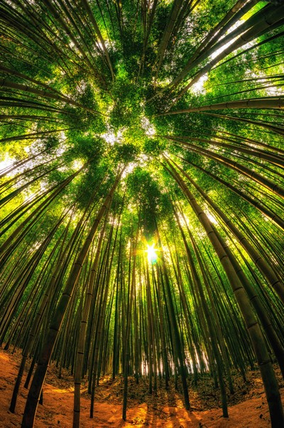 looking up the bamboo tree