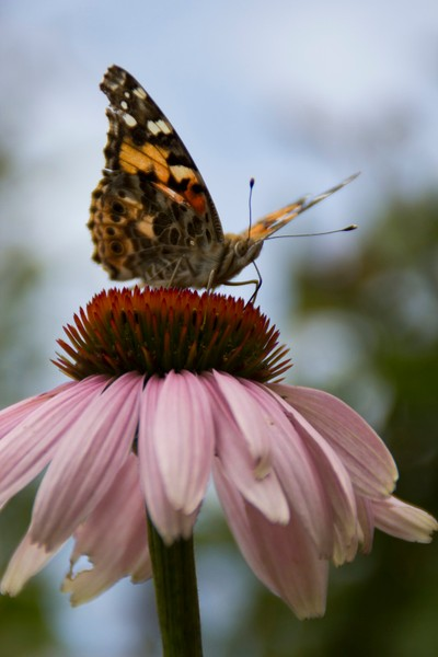 Painted Lady Takes Lunch