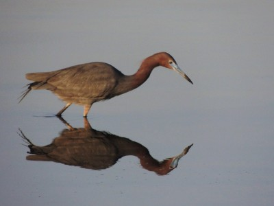 Tri-colored Heron reflection