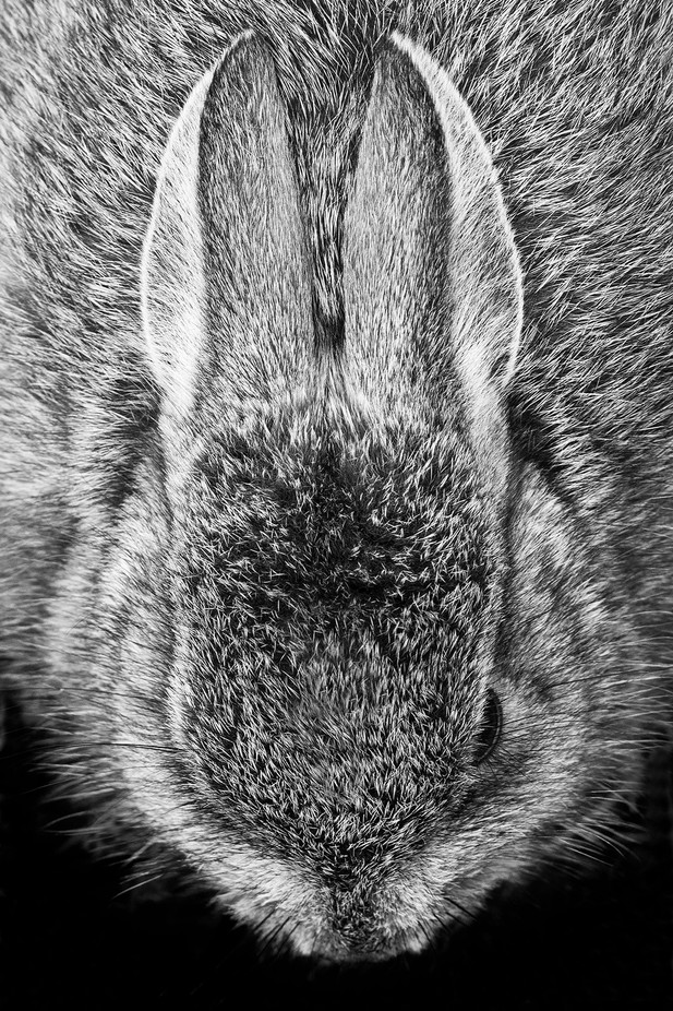 Cottontail by springlake - Small Wildlife Photo Contest