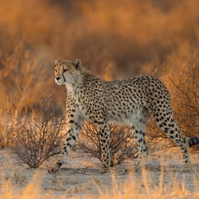 Subject: Cheetah (Acinonyx jubatus) Location: Kgalagadi Transfrontier Park, South Africa Background: After leaving camp before dawn and striking ...
