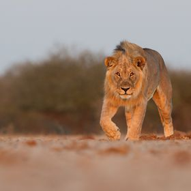 A male lion stalks towards me as I am lying on my belly in the soft sand of Namibia - a thrilling moment. This animal was totally wild.