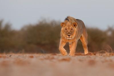 Lion Interest