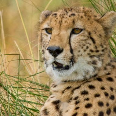 His name is William and he is one of the young cheetahs at Aussie Zoo.