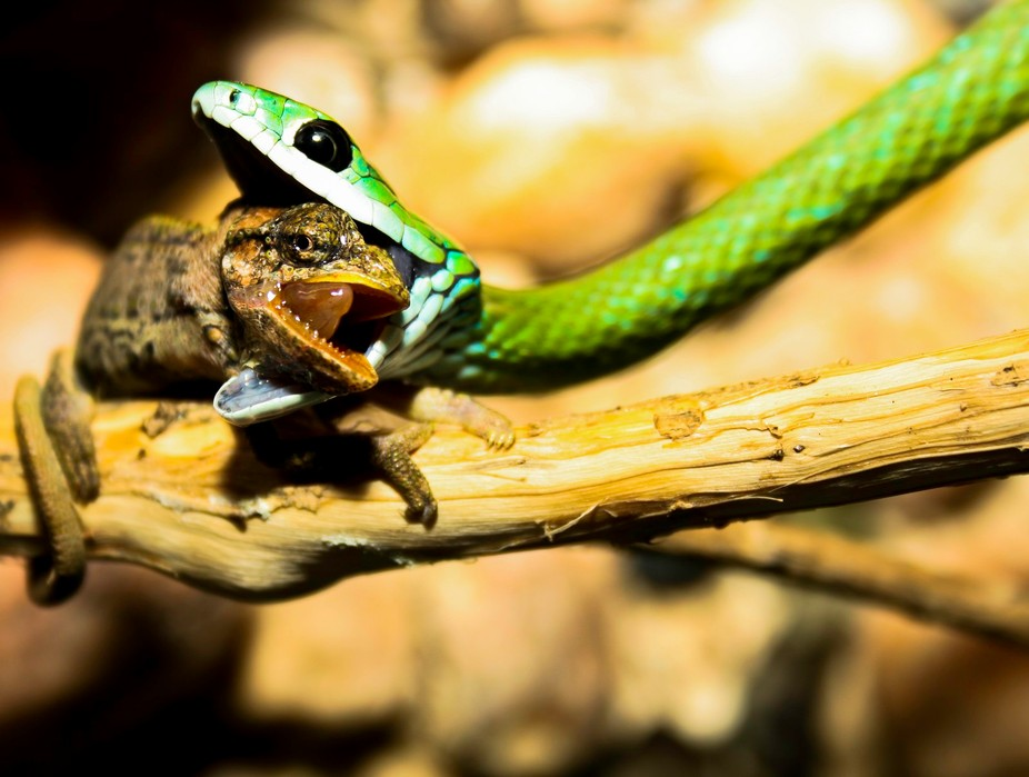 A Western Natal Green Snake (Philothamnus natalensis occidentalis) making a hearty meal of one of...