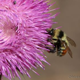 Bumble bee on a canada thistle in the mountains of Colorado.
